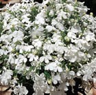 Lobelia 'White Lady' (42 large plug plants)