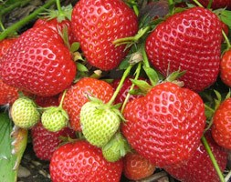 strawberry 'Lucy' (strawberry Lucy - late season fruiting)