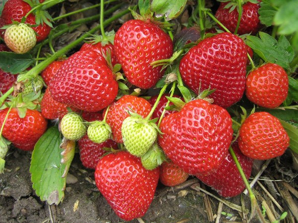 strawberry Lucy - late season fruiting
