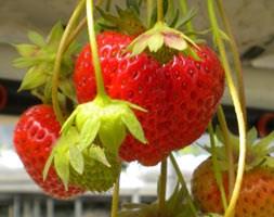strawberry 'Darselect' (strawberry Darselect - early season fruiting)