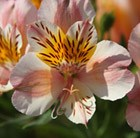 Alstroemeria (Planet Series) 'Junon'