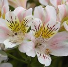 Alstroemeria (Planet Series) 'Venus'