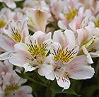 Alstroemeria Venus (Planet Series)