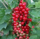 redcurrant Laxton's number one