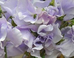 Lathyrus odoratus 'Charlie's Angel' (spencer sweet pea Charlies Angel)