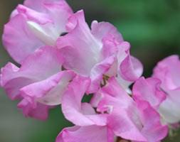 Lathyrus odoratus 'Gwendoline' (spencer sweet pea Gwendoline)