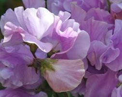 Lathyrus odoratus 'Karen Louise' (spencer sweet pea Karen Louise)