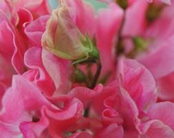 Lathyrus odoratus 'Tara' (spencer sweet pea seed Tara)