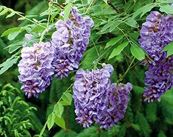 Wisteria frutescens 'Amethyst Falls' (PBR) (wisteria)