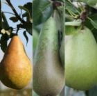 pear Doyenne' Du Comice' / Conference / Concorde