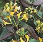 Lonicera henryi Copper Beauty (PBR)