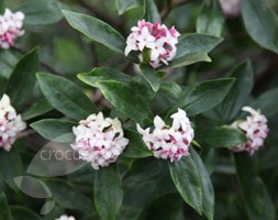 Daphne odora (daphne)