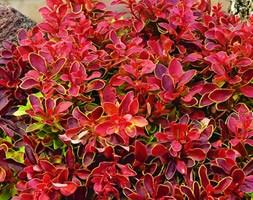 Berberis thunbergii f. atropurpurea 'Admiration' (PBR) (barberry)