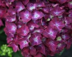 Hydrangea macrophylla 'Hot Red Violet' (hydrangea)