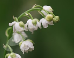 Convallaria majalis 'Prolificans' (lily-of-the-valley)