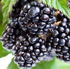 blackberry Ouachita
