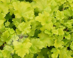Heuchera 'Lime Marmalade' (PBR) (coral bells)