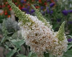 Buddleja Buzz Ivory 'Tobuivo' (Buzz Series) (butterfly bush)