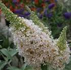 Buddleja Buzz Ivory =  'Tobuivo' (Buzz Series)