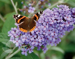 Buddleja Buzz Violet ('Tobudviole') (PBR) (Buzz Series) (butterfly bush)