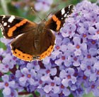 Buddleja Buzz Lavender (Buzz Series)