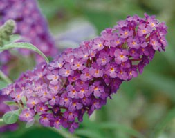 Buddleja Buzz Magenta  'Tobudpipur' (PBR) (Buzz Series) (butterfly bush)