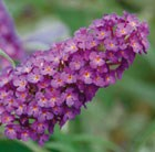 Buddleja Buzz Magenta (Buzz Series)