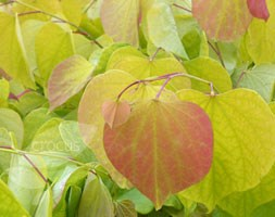 Cercis canadensis 'Hearts of Gold' (PBR) (American redbud)