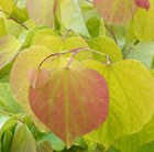 Cercis canadensis Hearts of Gold (PBR)