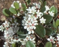 Rhaphiolepis umbellata (rhaphiolepsis)