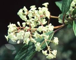 Viburnum x hillieri 'Winton' (viburnum)