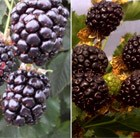 Blackberry collection