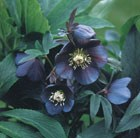 Helleborus × hybridus Blue Metallic Lady (Lady Series)