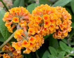 Buddleja x weyriana 'Sungold' (butterfly bush)