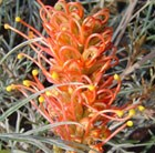 Grevillea Coastal Sunset