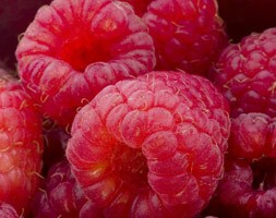raspberry 'Erika' (PBR) (raspberry - primocane (mainly autumn fruiting))