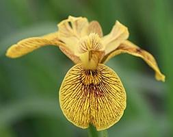 Iris pseudacorus 'Berlin Tiger' (flag iris)