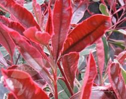 Photinia x fraseri Pink Marble ('Cassin') (photinia)