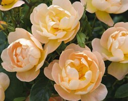 Rosa The Lark Ascending ('Ausursula') (PBR) (rose The Lark Ascending  (shrub))