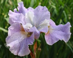 Iris sibirica 'Pleasures of May' (Siberian iris)