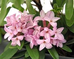 Daphne Pink Fragrance ('Blapink')  (PBR) (daphne)