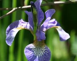 Iris sibirica 'Tycoon' (Siberian iris)
