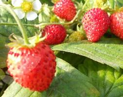 strawberry 'Scarlet Beauty' (alpine strawberry)