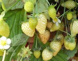 strawberry 'Leo Alba' (alpine strawberry)
