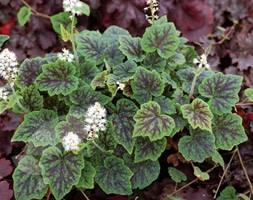 Tiarella 'Appalachian Trail' (trailing foam flower)