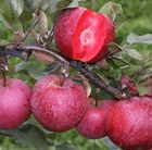 apple Tickled Pink = 'Baya Marisa'