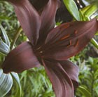 Lilium Dimension