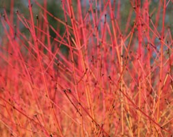 Cornus sanguinea 'Midwinter Fire' (midwinter fire dogwood)