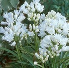 Agapanthus Double Diamond = 'Rfdd'