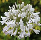 Agapanthus Windsor Grey